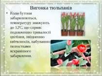 Вигонка тюльпанів Коли бутони забарвлюються, температуру знижують до 120С, що...