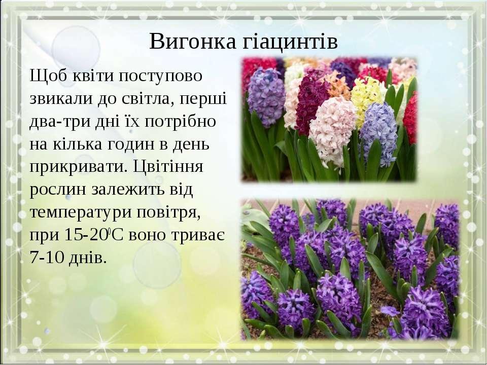 Вигонка гіацинтів Щоб квіти поступово звикали до світла, перші два-три дні їх...