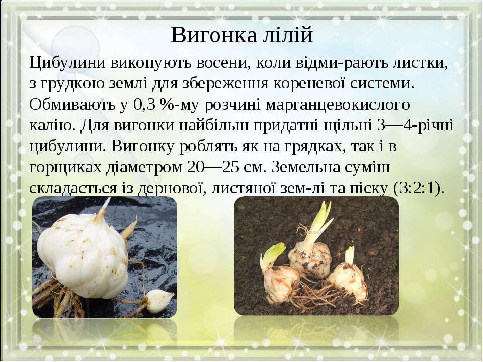 Вигонка лілій Цибулини викопують восени, коли відми рають листки, з грудкою з...