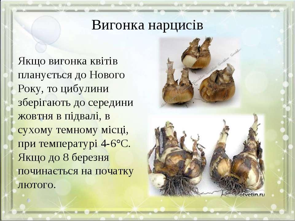 Вигонка нарцисів Якщо вигонка квітів планується до Нового Року, то цибулини з...