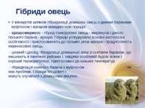 У вівчарстві шляхом гібридизації домашніх овець з дикими баранами муфлоном і ...