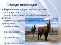 Гібриди верблюдів Верблюлама - гібрид верблюда і лами. Народжується на світ в...