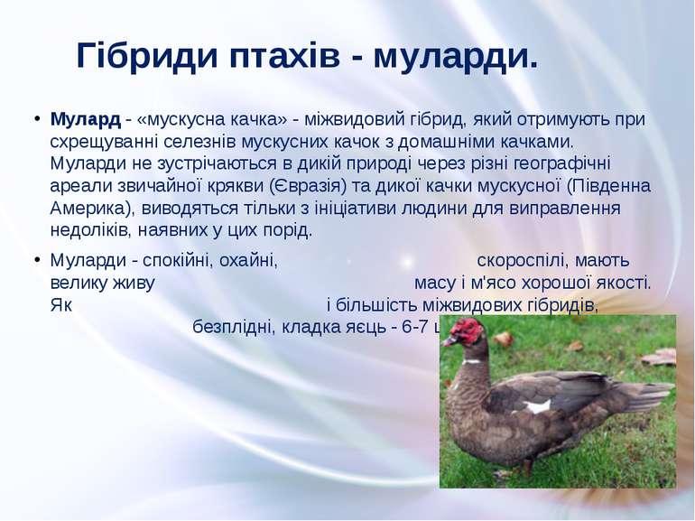 Мулард - «мускусна качка» - міжвидовий гібрид, який отримують при схрещуванні...