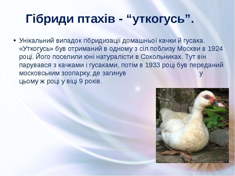 Унікальний випадок гібридизації домашньої качки й гусака. «Уткогусь» був отри...