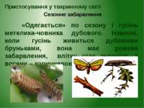 «Одягається» по сезону і гусінь метелика-човника дубового. Навесні, коли гусі...