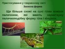 Ще більше схожі на сухі гілки комахи паличники, які мають характерну паличкоп...