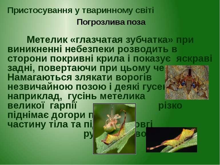 Метелик «глазчатая зубчатка» при виникненні небезпеки розводить в сторони пок...