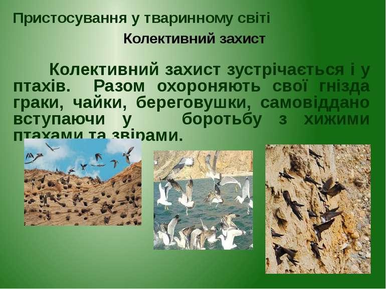 Колективний захист зустрічається і у птахів. Разом охороняють свої гнізда гра...