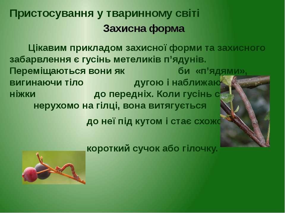 Цікавим прикладом захисної форми та захисного забарвлення є гусінь метеликів ...