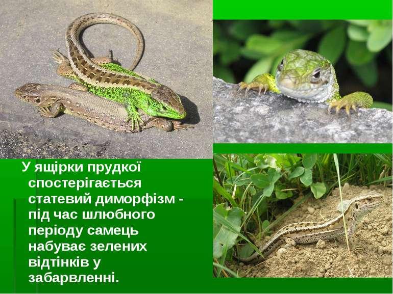 У ящірки прудкої спостерігається статевий диморфізм - під час шлюбного період...