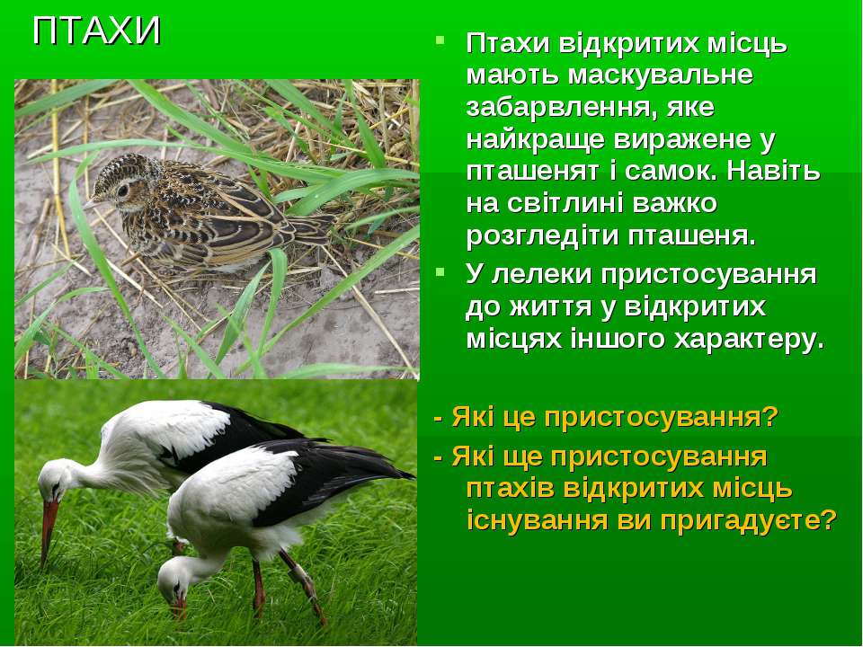 ПТАХИ Птахи відкритих місць мають маскувальне забарвлення, яке найкраще вираж...
