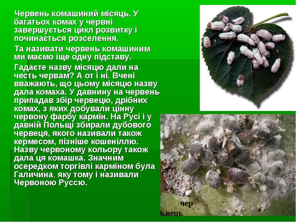 Червень комашиний місяць. У багатьох комах у червні завершується цикл розвитк...