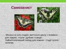 Самозахист Махаон на всіх стадіях життєвого циклу є поживою для павуків, пта...