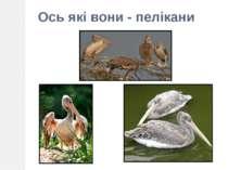 Ось які вони - пелікани