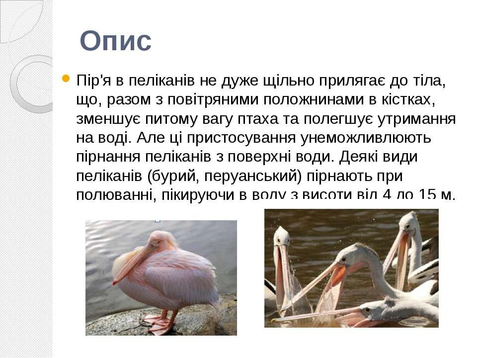 Пір'я в пеліканів не дуже щільно прилягає до тіла, що, разом з повітряними по...