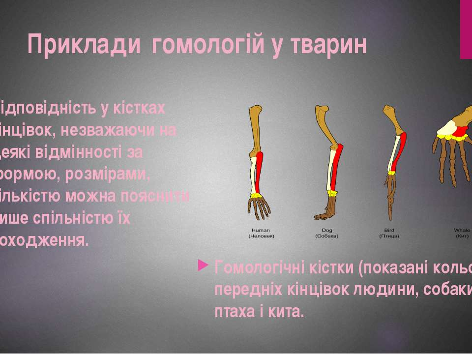 Відповідність у кістках кінцівок, незважаючи на деякі відмінності за формою, ...