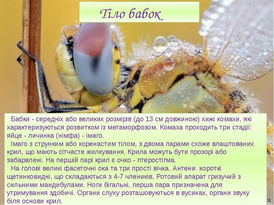 Тіло бабок Бабки - середніх або великих розмірів (до 13 см довжиною) хижі ком...