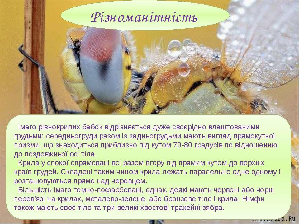 Імаго рівнокрилих бабок відрізняється дуже своєрідно влаштованими грудьми: се...