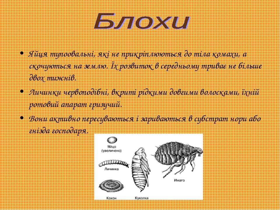 Яйця тупоовальні, які не прикріплюються до тіла комахи, а скочуються на землю...