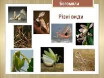 Різні види Богомоли