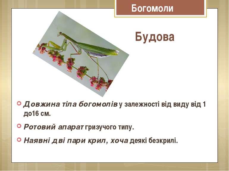Довжина тіла богомоліву залежності від виду від 1 до16 см. Ротовий апаратг...