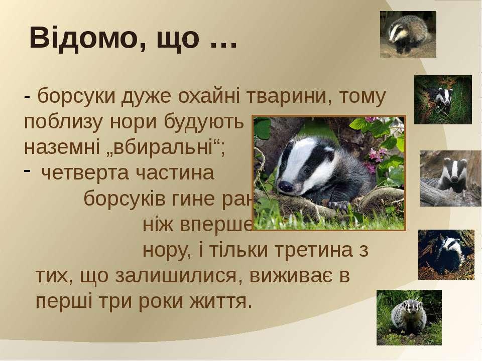"""- борсуки дуже охайні тварини, тому поблизу нори будують наземні """"вбиральні"""";..."""