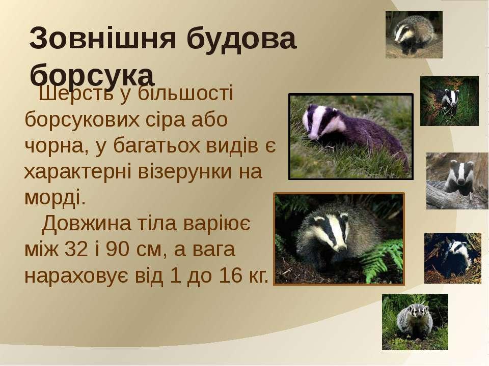 Шерсть у більшості борсукових сіра або чорна, у багатьох видів є характерні в...