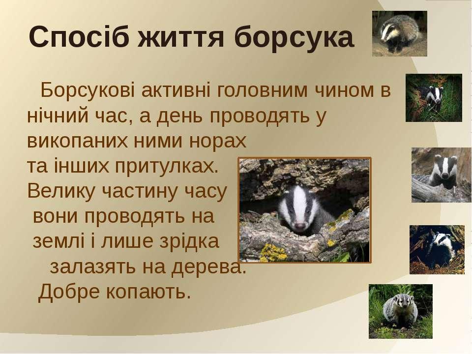 Борсукові активні головним чином в нічний час, а день проводять у викопаних н...