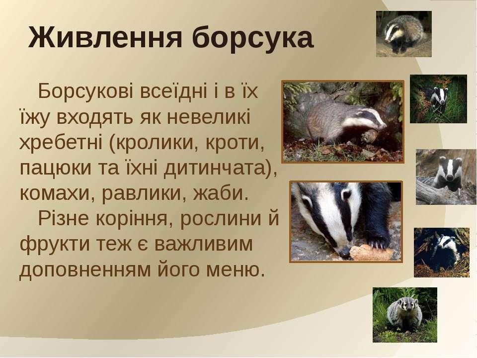 Борсукові всеїдні і в їх їжу входять як невеликі хребетні (кролики, кроти, па...