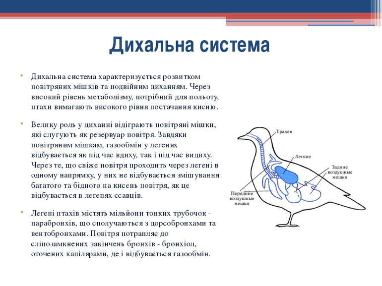 Дихальна система характеризується розвитком повітряних мішків та подвійним ди...