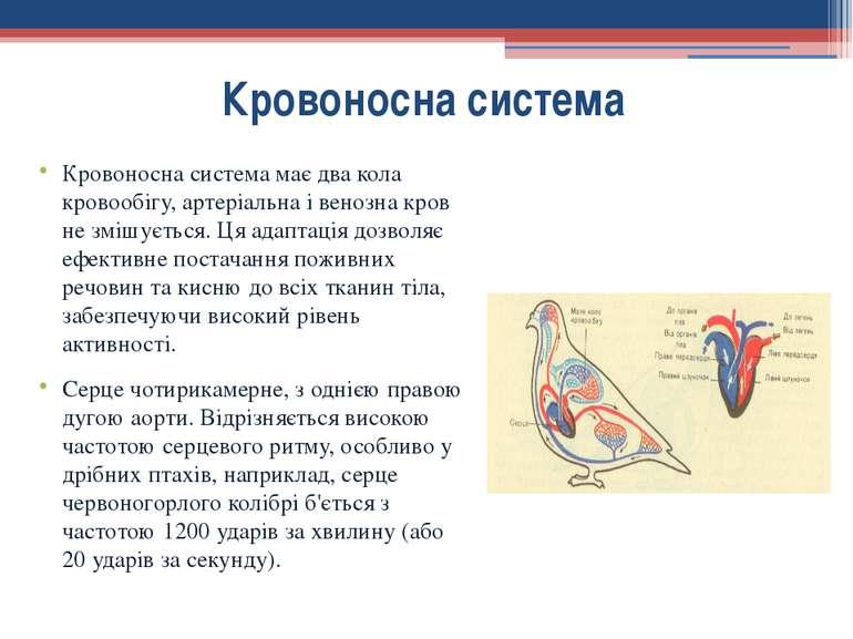 Кровоносна система має два кола кровообігу, артеріальна і венозна кров не змі...