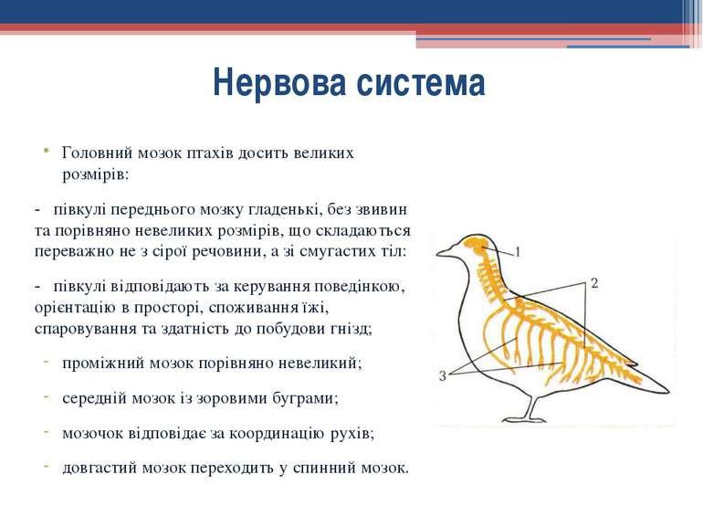 Головний мозок птахів досить великих розмірів: - півкулі переднього мозку гла...