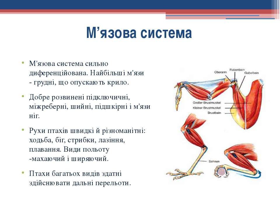 М'язова система сильно диференційована.Найбільші м'язи -грудні, щоопускают...