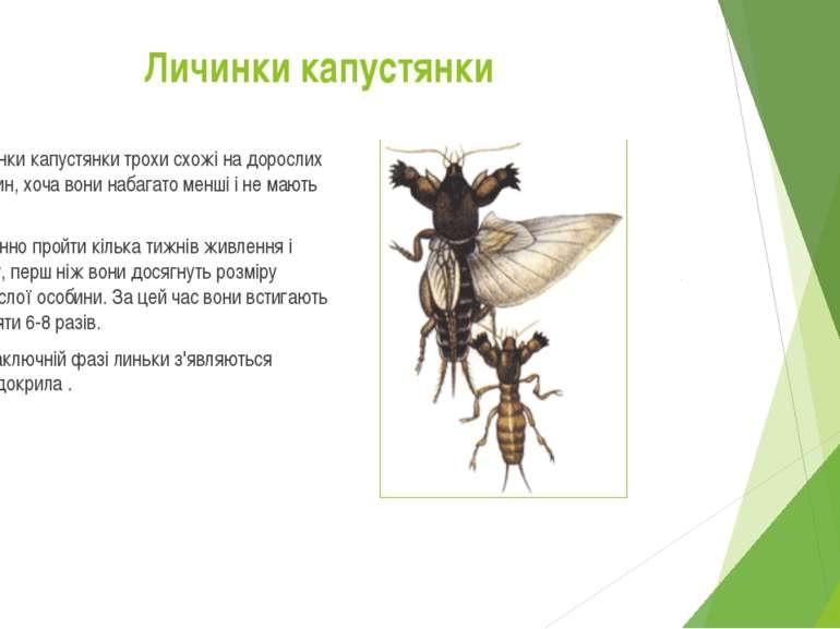 Личинки капустянки трохи схожі на дорослих особин, хоча вони набагато менші і...