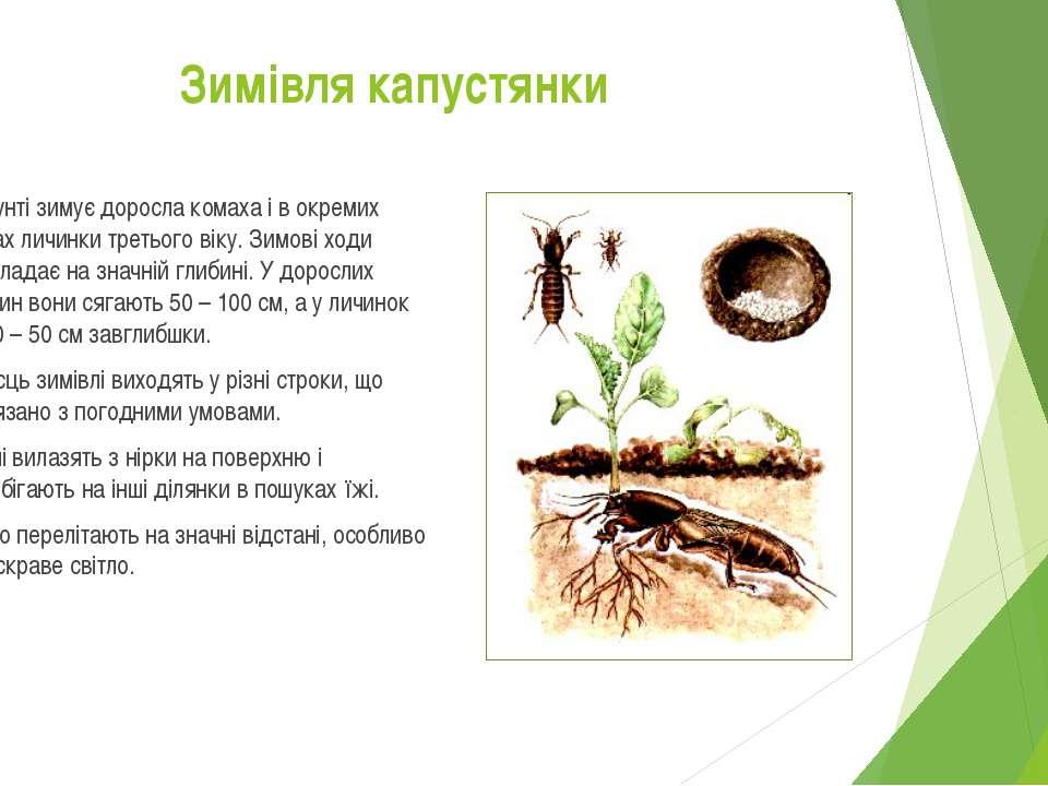 В грунті зимує доросла комаха і в окремих нірках личинки третього віку. Зимов...