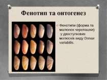 Фенотипи (форма та малюнок черепашки) у двостулкових молюсків виду Donax vari...