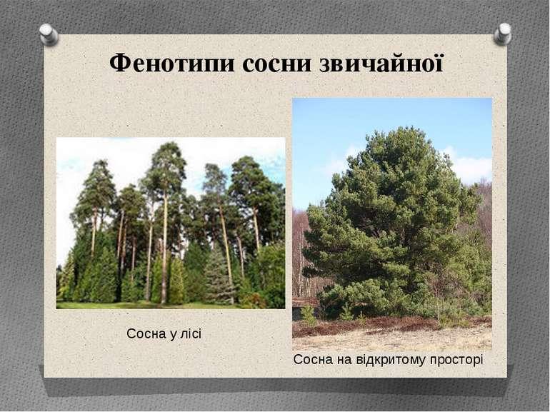 Фенотипи сосни звичайної Сосна на відкритому просторі Сосна у лісі
