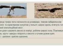 У природі грифа легко визначити за розмірами, темним забарвленням оперення та...