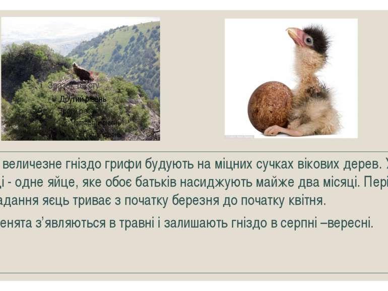 Своє величезне гніздо грифи будують на міцних сучках вікових дерев. У кладці ...