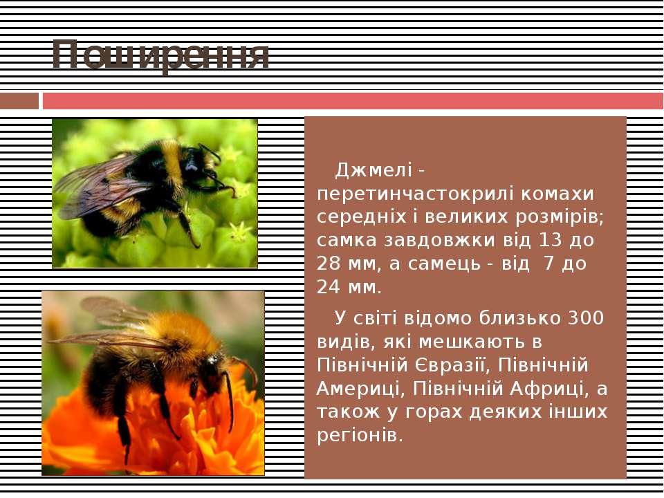 Поширення Джмелі - перетинчастокрилі комахи середніх і великих розмірів; самк...