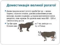 Диким предком великої рогатої худоби був тур — велика тварина, з важкою голов...