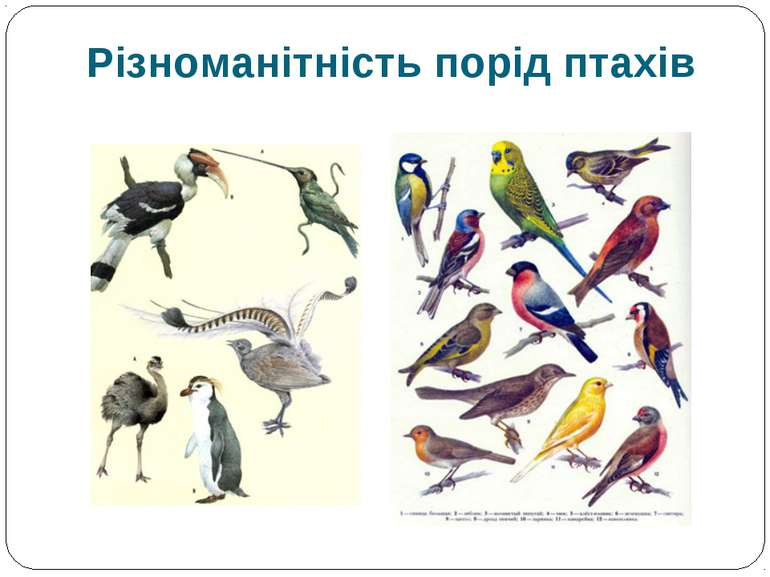 Різноманітність порід птахів