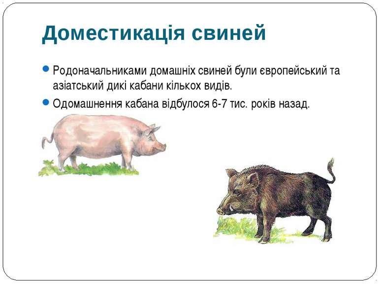 Родоначальниками домашніх свиней були європейський та азіатський дикі кабани ...