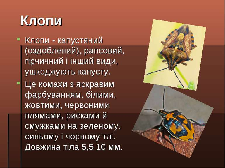 Клопи - капустяний (оздоблений), рапсовий, гірчичний і інший види, ушкоджують...