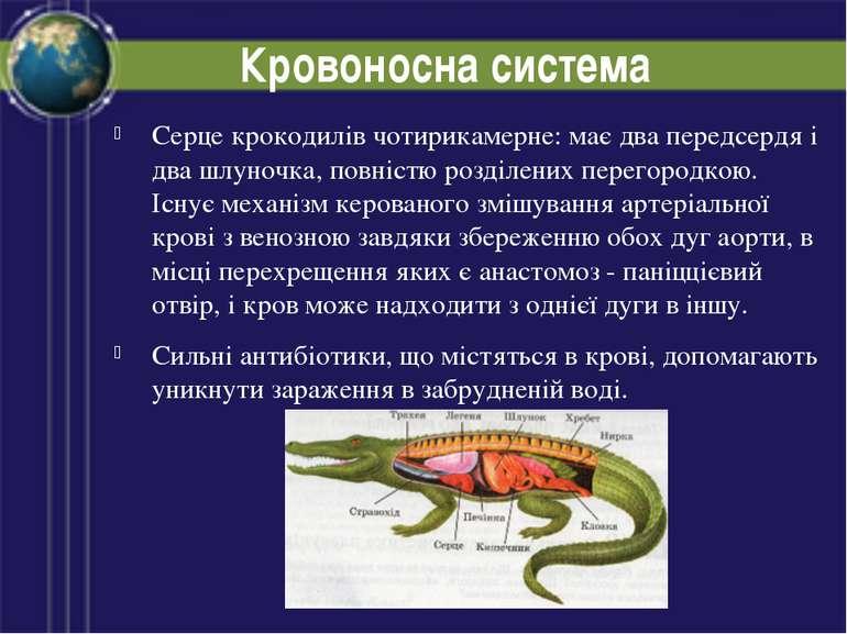 Кровоносна система Серце крокодилів чотирикамерне: має два передсердя і два ш...