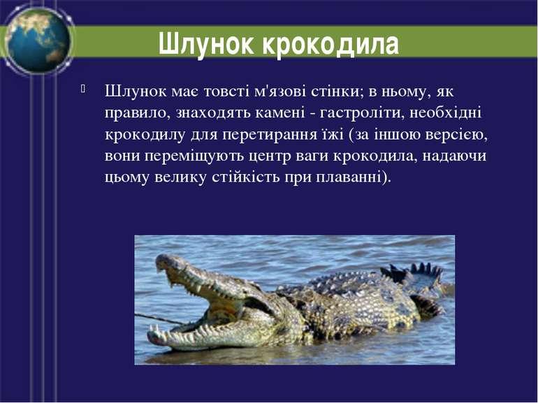 Шлунок крокодила Шлунок має товсті м'язові стінки; в ньому, як правило, знахо...