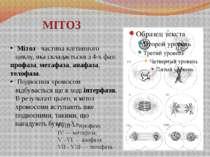 I - III — профаза; IV — метафаза; V - VI — анафаза; VII - VIII — телофаза. Мі...