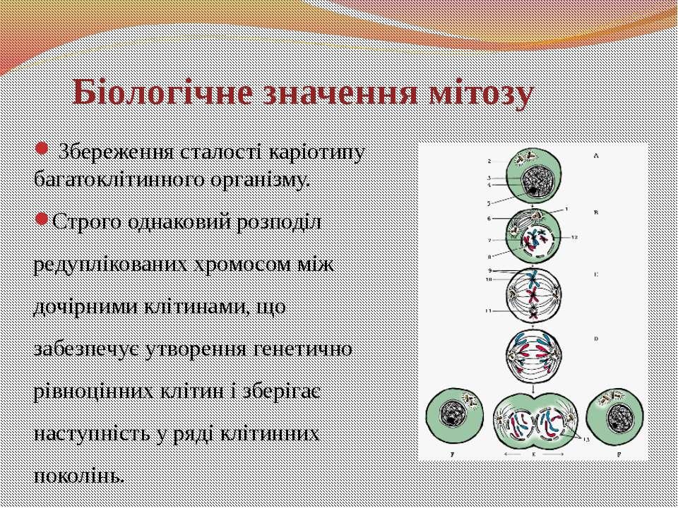 Збереження сталості каріотипу багатоклітинного організму. Строго однаковий ро...