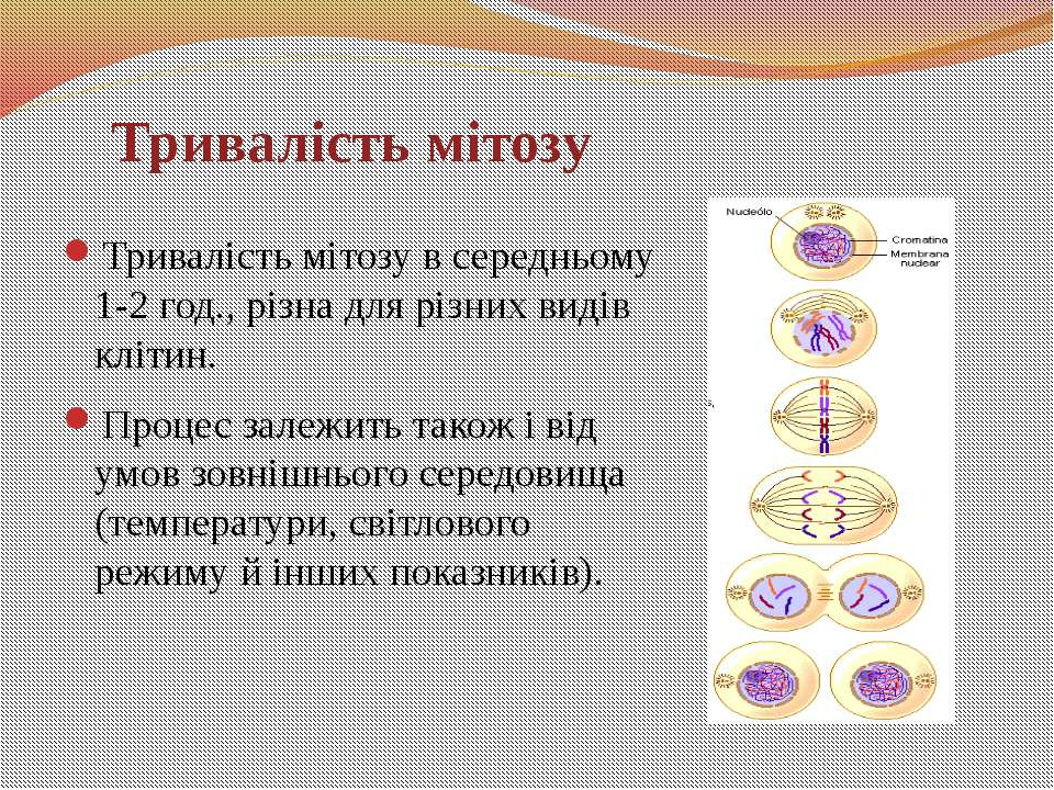 Тривалість мітозу в середньому 1-2 год., різна для різних видів клітин. Проце...
