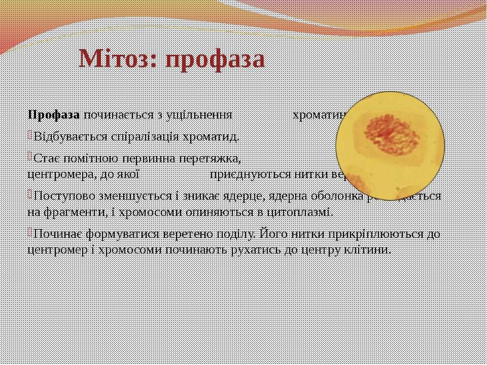 Профаза починається з ущільнення хроматину. Відбувається спіралізація хромати...
